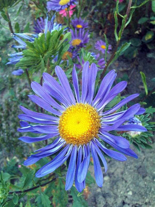 China Aster Definition And Synonyms Of China Aster In The English Dictionary