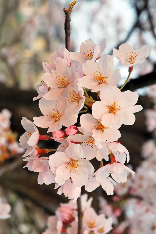 Cherry Blossom Definition And Synonyms Of Cherry Blossom In The English Dictionary