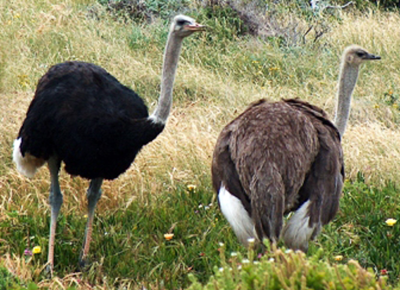 Ostrich Definition And Synonyms Of Ostrich In The English Dictionary