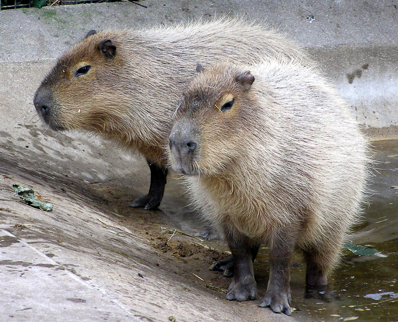 Rodent Definition And Synonyms Of Rodent In The English Dictionary