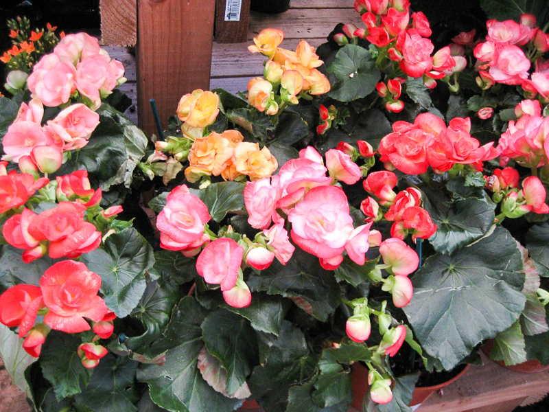 Begonia Definition And Synonyms Of Begonia In The Malay Dictionary