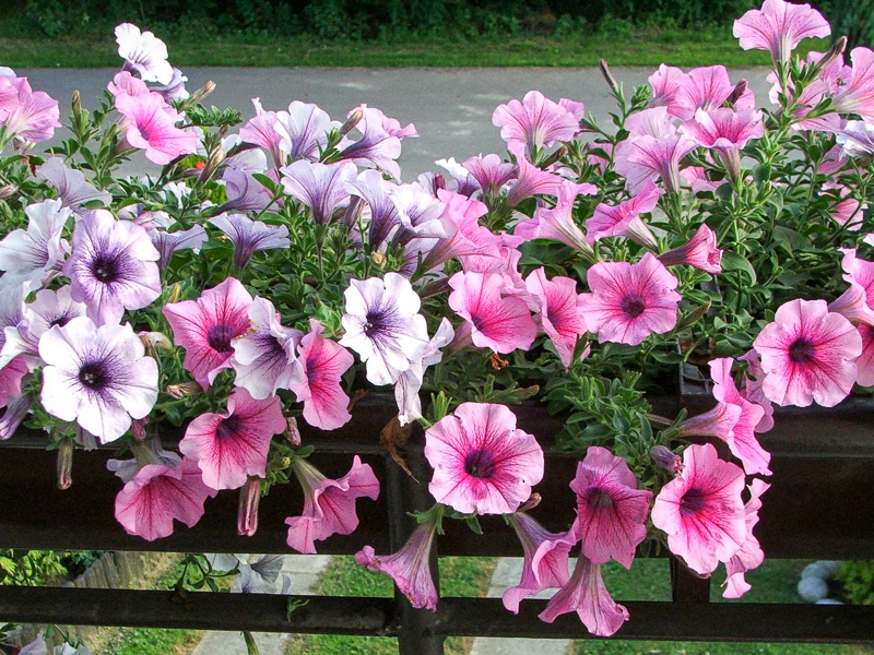 Petunia Definition And Synonyms Of Petunia In The Polish Dictionary